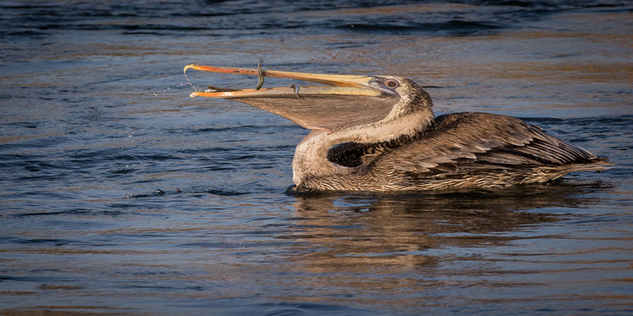 Pelican-California-West-Coast-Wildlife-Photography-by-Jim-Akers