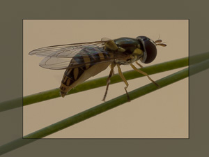 Blog_Hover Fly