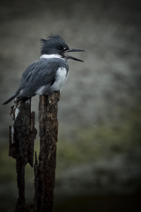 Blog_Belted Kingfisher better with mouth open