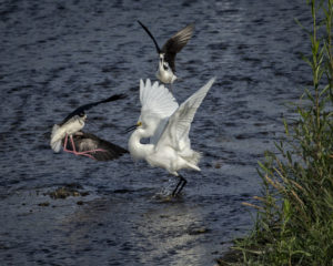 Black Neck Stilt_Bullies not Welcome5