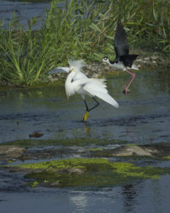 Blog_Black Neck Stilt_Bullies not Welcome